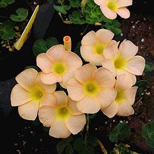 10 Stück Oxalis Zwiebeln Blumenzwiebeln Einfach zu pflanzen Frühling Sommer Herbst Ungebrochene Blumen Unverzichtbare Landschaft im Innenhof