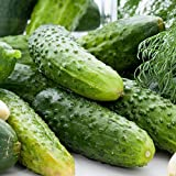 30 Wisconsin SMR 58 Pickling Cucumber Seeds #SE03