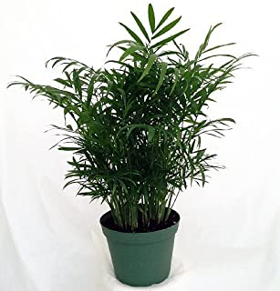 "jm bamboo-Victorian Parlor Palm - Chamaedorea - Indestructable - 4"" Pot"