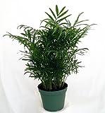 jm bamboo-Victorian Parlor Palm - Chamaedorea - Indestructable - 4' Pot
