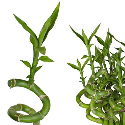 5x Lucky Bamboo Glücksbambus - 50cm GEDREHT - Spiral in verschiedenen Groessen - Zimmerbambus Gluecksbambus Zimmer Deko Bam Boo dracaena sanderiana Zimmerpflanze