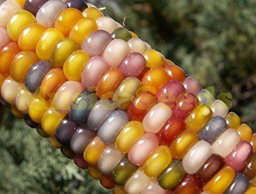 1bag = 20pcs Colorful graines de maïs arc-en-graines de Niblet Semences Potagères des plantes Décoration Maison & Jardin
