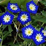 Fnho Raras Semillas de Hierba,Planta Maceta Semillas,Flores de Tres Colores, fáciles de Vivir en el balcón Potted-Blue_100grain