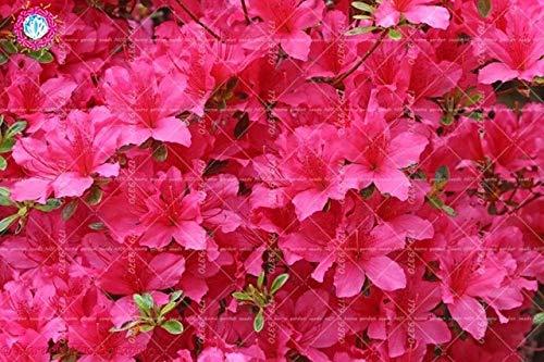 RETS 100pcs Sims Azalea Rhododendron simsii Bonsai-Baum Blume Staude Strauch Pflanzen Haus Garten Evergreen: 6