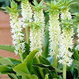 Eucomis Autumnalis 8 Seeds, South African Pineapple Lily, Bulb Type Garden Plants