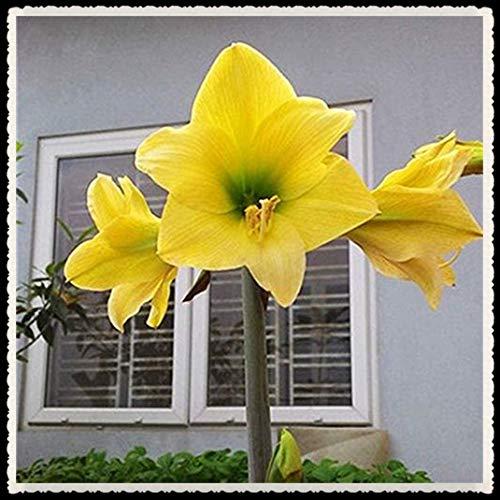 Bulbo di Amaryllis-bulbi Amaryllis veri, Grande giardino segreto Rara natura in crescita come un fiore Forte crescita-1 Bulbi