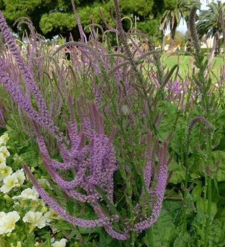 100 seeds (Wafer) Russian Meerlavendel Seeds,Limonium Suworowii, Psylliostachys Suworowii