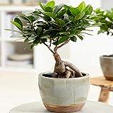 Ficus Ginseng Planta Decorativa de Interior Viva Bonsái Chino en Maceta de 12 cm