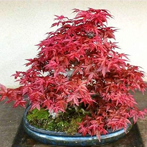 Hot Sell 30pcs Japanese Maple Tree Bonsai Seedplants Acer Palmatum Atropurpureum Plant Garden Pots seeding Planters VC : Red