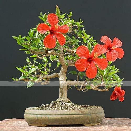 ShopMeeko SEEDS: 50 Particles Hot Verkauf Rare Garten Heim Topfpflanzen Okra Bonsai: Dunkle Khaki