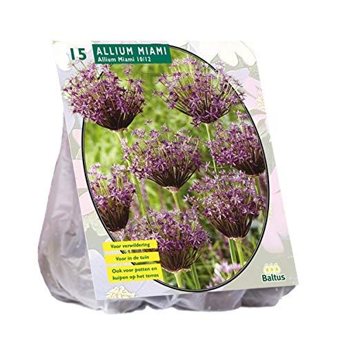 Allium Allium Miami 15 Stück Blumenzwiebel