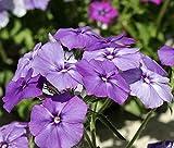 Fuduoduo Maceta para Plantas De JardíN/Interiores,Planta fácil de Vivir-Blue_0.25kg,Raras Semillas De CéSped