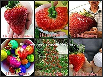 Graines de fruits, 200 pcs Graines de fraises géantes, 6 semences de plantes Rare, Race subir semences de la fraise, fruit douce et Philodendron