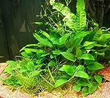 Mühlan - Wasserpflanzensortiment für Barschliebhaber, robuste...