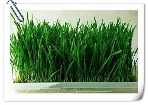 100 graines/Lot Bio Herbe de blé germination du taux de 99% des familles balcon plantation saisons