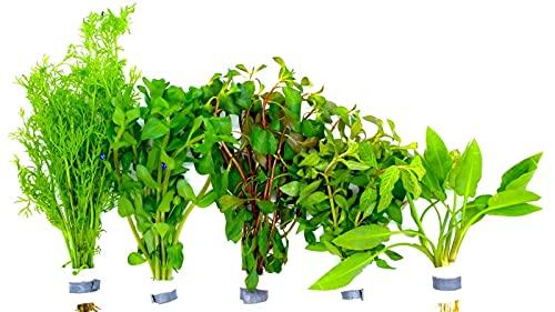 Aquariumpflanzen Set 5 XXL Bunde, Wasserpflanze, Wasserpflanzen, Dicke Bunde