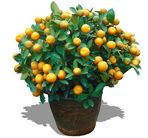 Golden Delicious orange semences Mini Potted arbres fruitiers Graines Bonsai Intéressant planter 50 particules/lot 5