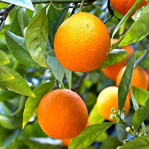 YouGarden Mandarin Citrus Tree, 6 Litre Pot