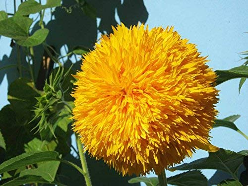 Semi di girasole 20 / confezione (Helianthus annus) Biologico Non OGM Giardino domestico Sole soleggiato Semi di fiori Semi impollinati aperti per piantare girasole alto