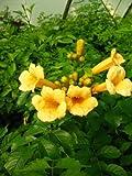 Trompetenblume Flava, Campsis Flava 80 cm hoch im 3 Liter Pflanzcontainer -