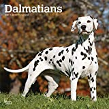 Dalmatians - Dalmatiner 2020 - 16-Monatskalender mit freier DogDays-App: Original BrownTrout-Kalender [Mehrsprachig] [Kalender] (Wall-Kalender)