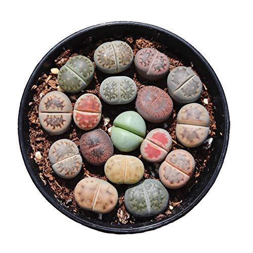 8个活的小外来石英石幼苗包装(8个幼苗包装)