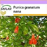 Granado enano - 50 semillas - Punica granatum nana