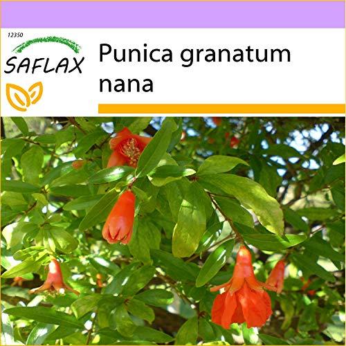 SAFLAX - Zwerg - Granatapfel - 50 Samen - Punica granatum nana