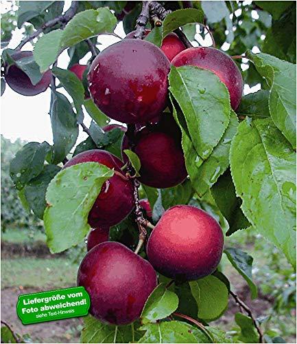 BALDUR Garten Cherrykose®' Kreuzung aus Kirschpflaume & Aprikose, 1 Pflanze