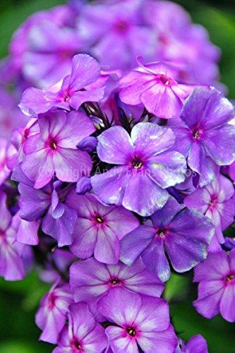 Foto ein 30,5x 45,7cm Fotodruck violett violett hoher Stauden-Phlox Amethyst Mehrjährige Blumen Hochformat Foto Farbe Bild Fine Art Print. Fotografie von Andy Evans Fotos
