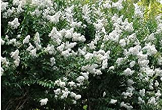 Natchez Crape Myrtle - 'Lagerstroemia indica x fauriei' - 2' Tall - Healthy- Gallon Potted Plants - 1 Plant by Growers Solution