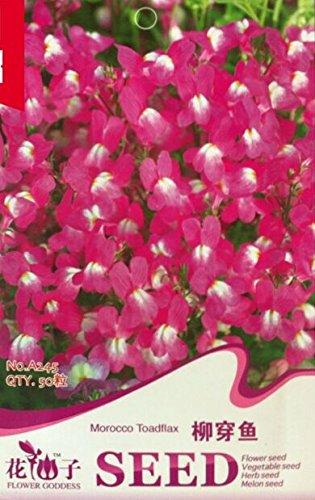 fleur odorante graines Hornsey balle, blanc graines de boule de neige d'épices, alyssum doux, environ 60 particules