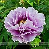 Pinkdose® 2018 Heißer Verkauf Pivoine Japanische Pfingstrose Blumensamen, 1 Professionelle Pack, 5 Samen/Pack, Licht Lila Baum Pfingstrose Blume # NF542