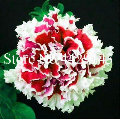Generic Fresh 100 Stück Petunia Blumensamen zum Pflanzen von Rot 1