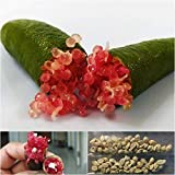 PLAT FIRM SEMILLAS DE GERMINACION: Finger Lime 10 semillas Citron Caviar lime Seeds Tailandia variedad'Little Ruby'