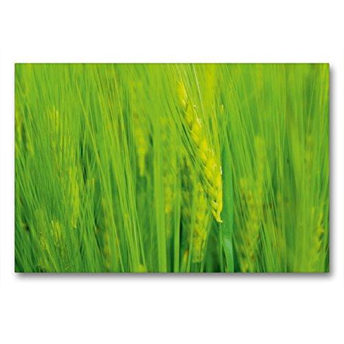 Premium Textil-Leinwand 90 x 60 cm Quer-Format Ähre | Wandbild, HD-Bild auf Keilrahmen, Fertigbild auf hochwertigem Vlies, Leinwanddruck von Susan Michel/CH