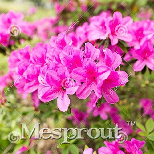 Satsuki Azalea Bonsai 100pcs Bonsai Fiore Rosso Rosa per Indoor Camera Casa e Giardino Piante in Vaso: 5