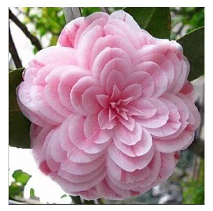 Semi di camelia, Camellia fiori semi 24kinds dei colori per scelto 2 semi