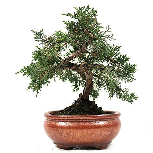 Enebro chino, Juniperus chinensis, bonsái para exterior, 14 años, altura 19 cm