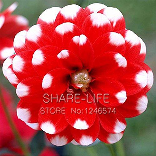 Rare et rouge Point blanc Dahlia Graines De belles graines Fleurs vivaces Dahlia pour le bricolage jardin 50PCS / PACK 24