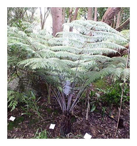 Cyathea dealbata - Fougère arborescente d'argent - 10 graines
