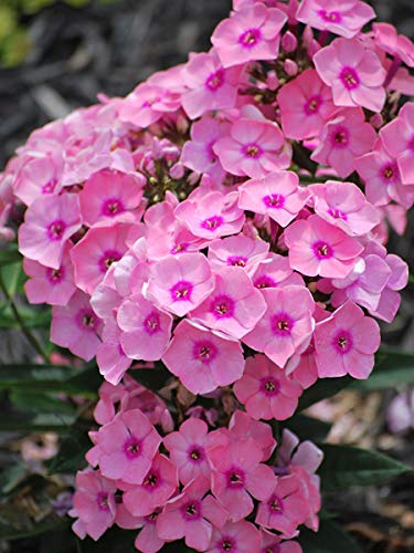 Perennial Farm Marketplace Phlox p. Sweet Queen (Summer) Perennial, Size-#1 Container, Salmon Pink Flowers