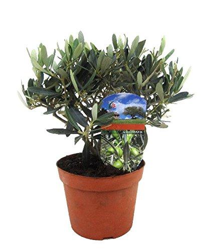Olivenbaum 30cm+/- Olive Olea europaea