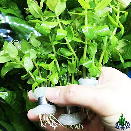 Bacopa Caroliniana 3-Bunch Stems Freshwater Live Aquarium Plants Background Fish...