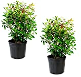 Cottage Hill Cleyera Japonica - 2 Piece Live Plant, White Blooms