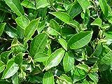 Tea Plạnt Camellia Sinensis – Green Tea Plạnt Lịve - Ship Bare Root