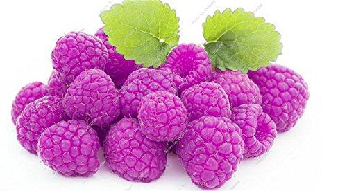 Bonsai framboise mûre graine noire Berry Blackberry vivace arbre plante délicieux fruits Succulent meilleur cadeau pour les enfants de 400 Pcs 12