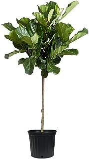 Best mini fiddle leaf fig tree Reviews