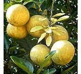 Aegle Marmelos Bengal Quince Tree jocad (5 Seeds)