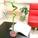 1 flor de bambú en espiral cultivada en jarrón de cristal transparente con bolas de agua coloridas para tu casa Feng Shui